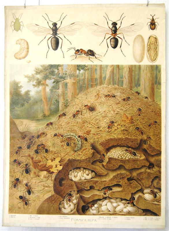 ( SCHOOLPLAAT ) Formica Rufa = Red Ant = Rode Bosmier