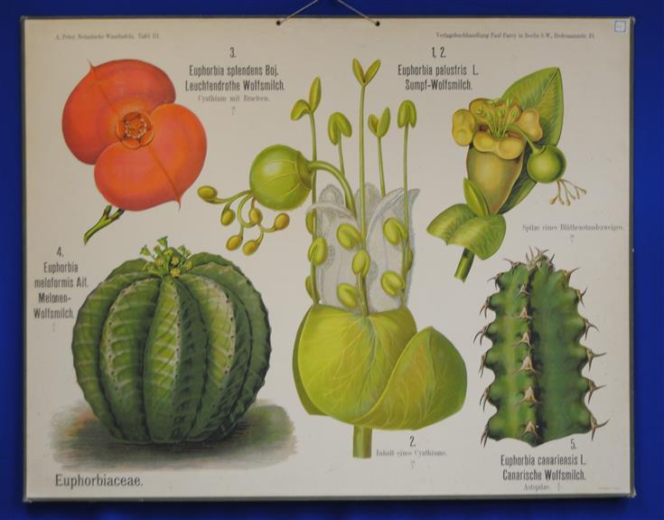 (SCHOOLPLAAT - SCHOOL POSTER / MAP - LEHRTAFEL) Botanische Wandtafeln. Tafel 31., EUPHORBIACEAE
