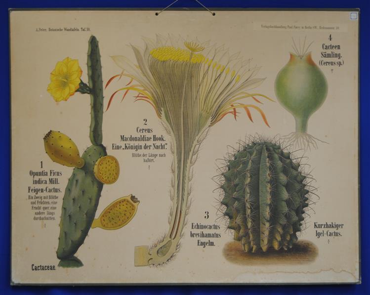 (SCHOOLPLAAT - SCHOOL POSTER / MAP - LEHRTAFEL) Botanische Wandtafeln. Tafel 10., CACTACEAE