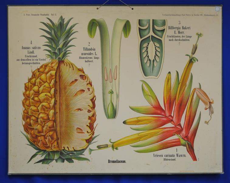 (SCHOOLPLAAT - SCHOOL POSTER / MAP - LEHRTAFEL) Botanische Wandtafeln. Tafel 17. BROMILIACEAE ( ANANAS )