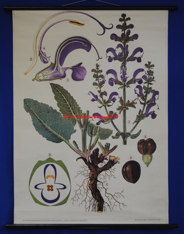 (SCHOOLPLAAT - SCHOOL POSTER / MAP - LEHRTAFEL) Haslinger Botanische Wandtafeln. Tafel 6., WIESENALBEI - Meadow Clary - SALIE - Salvia pratensis