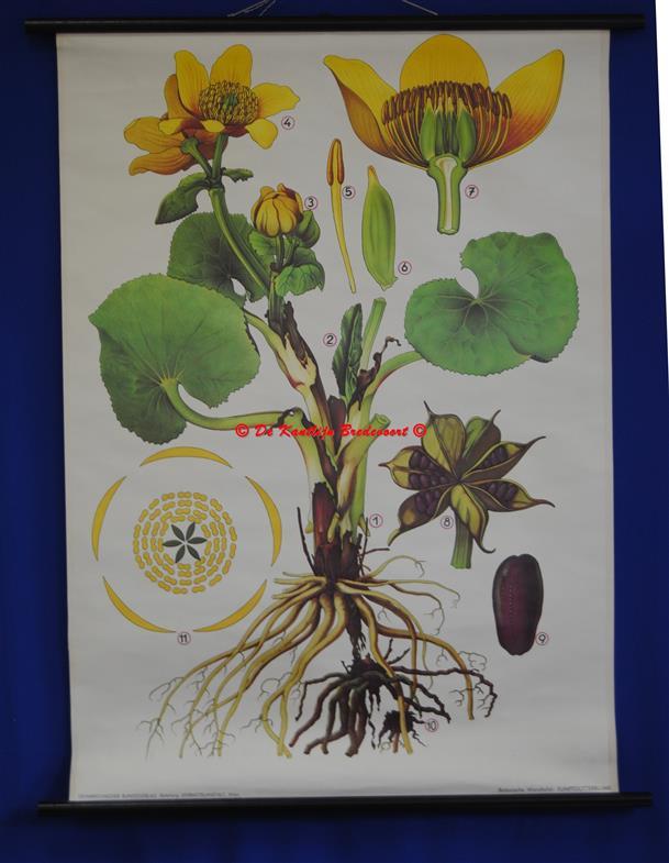 (SCHOOLPLAAT - SCHOOL POSTER / MAP - LEHRTAFEL) Haslinger Botanische Wandtafeln. Tafel 2., SUMPFDOTTERBLUME - marsh marigold -Moeras Dotterbloem - Caltha palustris