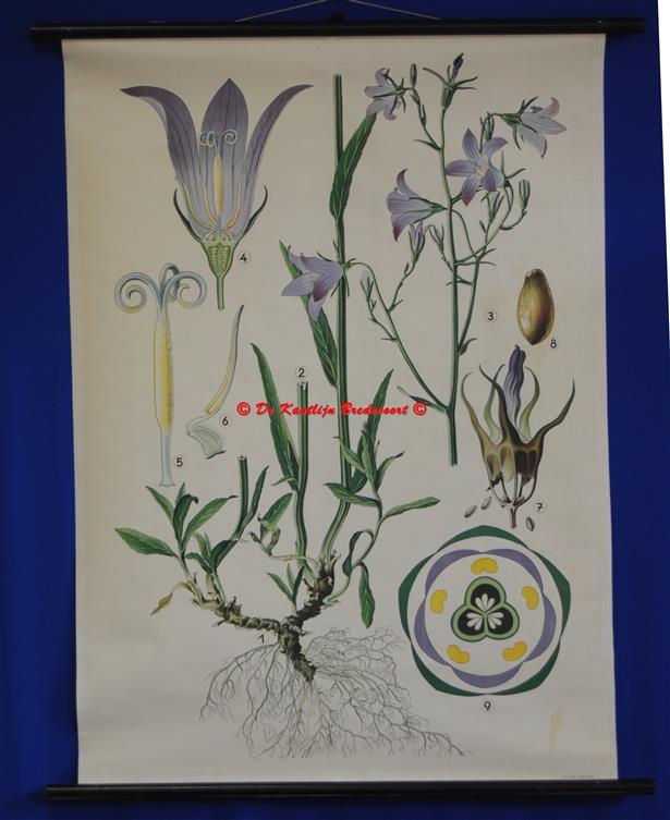 (SCHOOLPLAAT - SCHOOL POSTER / MAP - LEHRTAFEL) Haslinger Botanische Wandtafeln. Tafel 8., WIESENGLOCKENBLUME - weideklokje - Spreading Bellflower - Campanula patula
