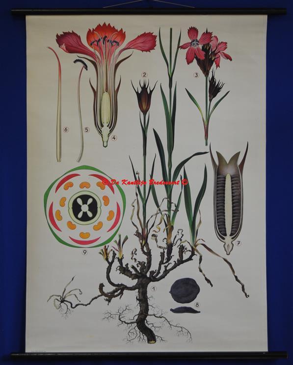 (SCHOOLPLAAT - SCHOOL POSTER / MAP - LEHRTAFEL) Haslinger Botanische Wandtafeln. Tafel 4., [WIESENSCHAUMKRAUT = FALSCH ] HEIDE NELKE - Steenanjer - Maiden Pink - Dianthus deltoides