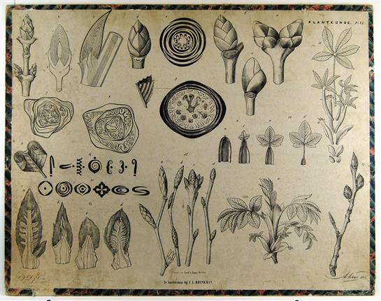 ( SCHOOLPLAAT ) - Bladknoppen - Brinkman's Plantkunde plaat IV