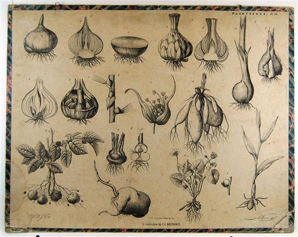 ( SCHOOLPLAAT ) - Bollen en knollen - Brinkman's Plantkunde plaat VII