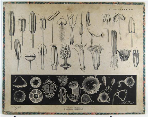 ( SCHOOLPLAAT ) - Stampers, meeldraden en stuifmeelkorrels - Brinkman's Plantkunde plaat XI