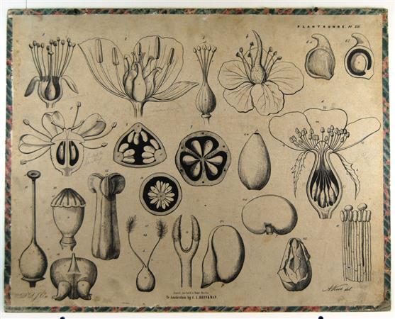 ( SCHOOLPLAAT ) - Bloemen met meeldraden - Brinkman's Plantkunde plaat XII