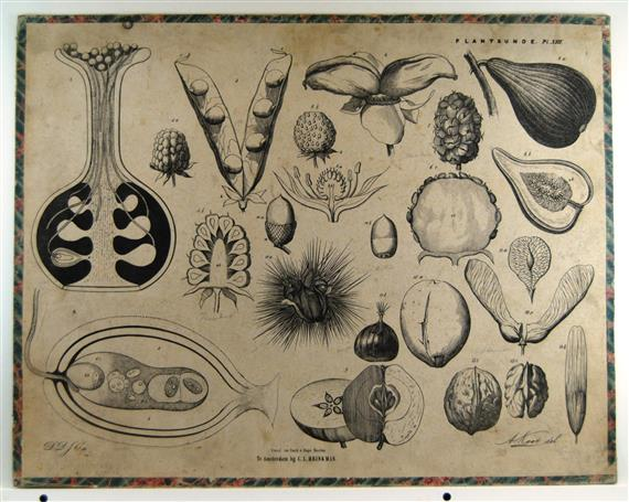 ( SCHOOLPLAAT ) - Vruchten en zaden - Brinkman's Plantkunde plaat XIII