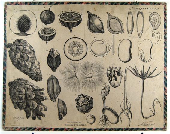( SCHOOLPLAAT ) - Vruchten en zaden 2 - Brinkman's Plantkunde plaat XIV