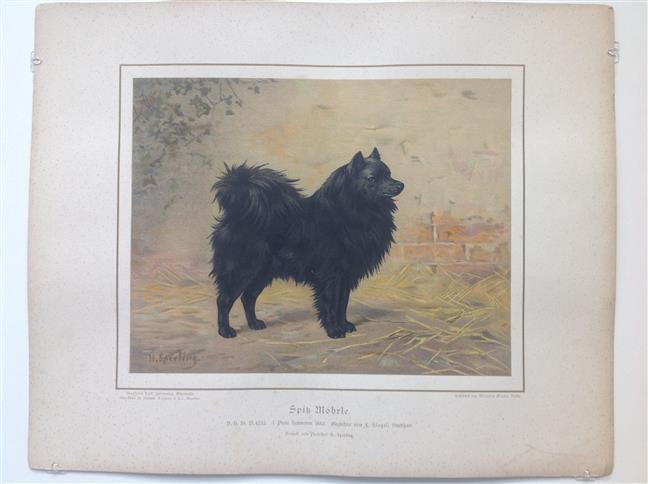 (DECORATIEVE PRENT,  LITHO - DECORATIVE PRINT, LITHOGRAPH -) Rashond - Schipperke / Black Spitz Dog