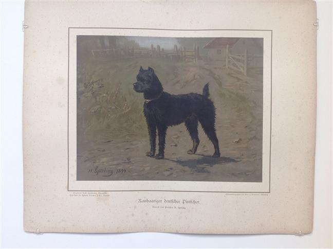(DECORATIEVE PRENT,  LITHO - DECORATIVE PRINT, LITHOGRAPH -) Rashond - Ruwharige Duitse Pincher / Wire-Haired German Pincher Dog