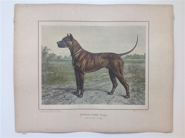 (DECORATIEVE PRENT,  LITHO - DECORATIVE PRINT, LITHOGRAPH -) Rashond - Gevlekte grote deense hond / Brindle Great Dane Dog