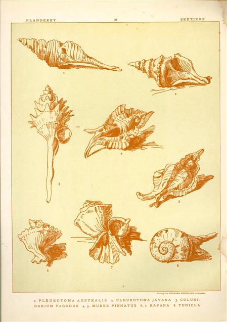 (DECORATIEVE PRENT,  LITHO - DECORATIVE PRINT, LITHOGRAPH -) # 96- sea shells:Pleurotoma Australis - Pleurotoma Javana - Colunibarium Pagodus - Murex Pinnatus - Rapana - Tudicla ---  Seetiere -- Naturstudien für Kunst u. Kunstgewerbe