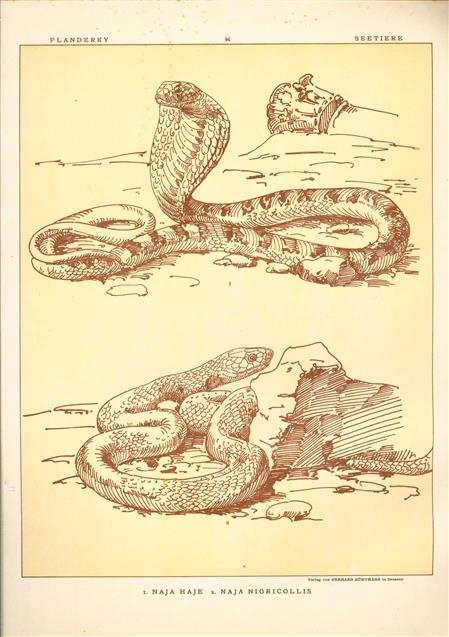 (DECORATIEVE PRENT,  LITHO - DECORATIVE PRINT, LITHOGRAPH -) # 94- Snakes: Naja Haje - Naja Nigricollis ( cobra ) ----  Seetiere -- Naturstudien für Kunst u. Kunstgewerbe