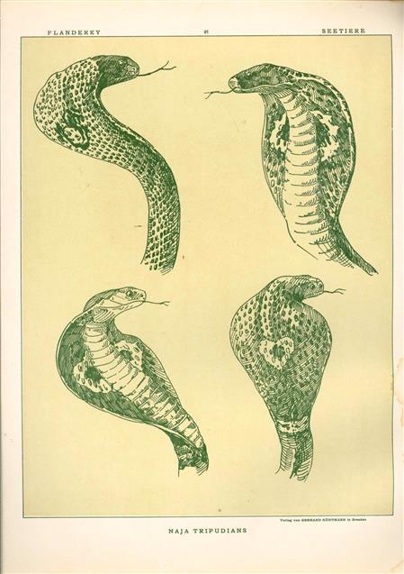 (DECORATIEVE PRENT,  LITHO - DECORATIVE PRINT, LITHOGRAPH -) # 91- Snakes: Naja Tripudians  ( cobra ) ----  Seetiere -- Naturstudien für Kunst u. Kunstgewerbe
