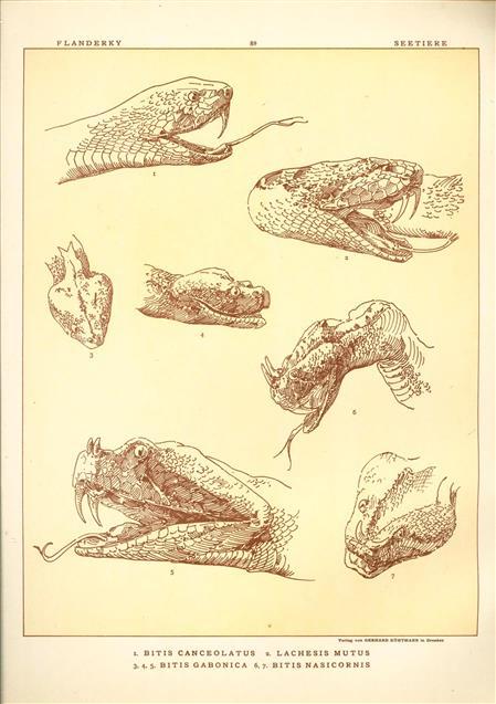 (DECORATIEVE PRENT,  LITHO - DECORATIVE PRINT, LITHOGRAPH -) # 89- Snakes: Bitis Canceolatus - Lachesis Mutus - Bitis Gabonica - Bitis Nasicornis  ----  Seetiere -- Naturstudien für Kunst u. Kunstgewerbe