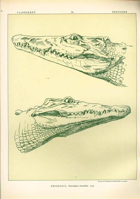 (DECORATIEVE PRENT,  LITHO - DECORATIVE PRINT, LITHOGRAPH -) # 68 - Crocodile  - Crocodilus Rhumbifer-- Naturstudien für Kunst u. Kunstgewerbe
