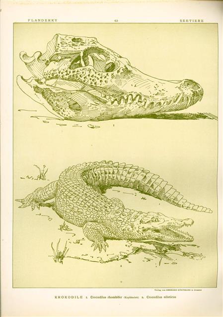 (DECORATIEVE PRENT,  LITHO - DECORATIVE PRINT, LITHOGRAPH -) # 63- Crocodile: Crocodilus Rhombifer - Crocodilus Niloticus ----  Seetiere -- Naturstudien für Kunst u. Kunstgewerbe