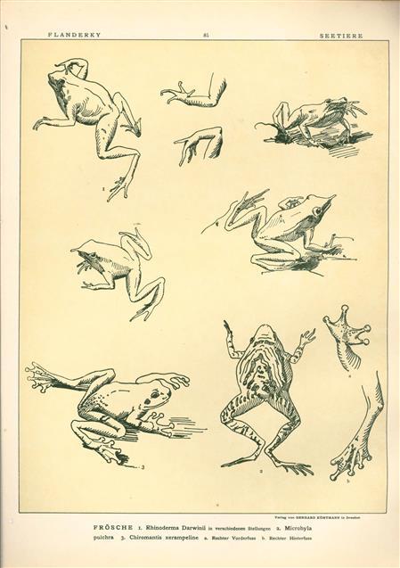 (DECORATIEVE PRENT,  LITHO - DECORATIVE PRINT, LITHOGRAPH -) # 85-  Frogs nr 1 ----  Seetiere -- Naturstudien für Kunst u. Kunstgewerbe