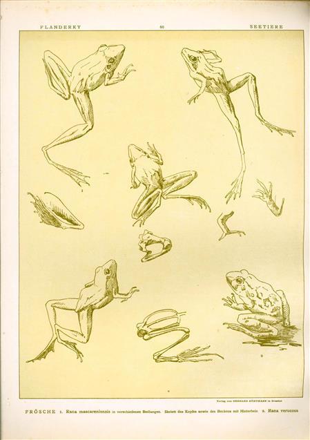 (DECORATIEVE PRENT,  LITHO - DECORATIVE PRINT, LITHOGRAPH -) # 60-  Frogs no 2----  Seetiere -- Naturstudien für Kunst u. Kunstgewerbe
