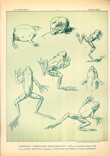 (DECORATIEVE PRENT,  LITHO - DECORATIVE PRINT, LITHOGRAPH -) # 14- Frogs no 3  ----  Seetiere -- Naturstudien für Kunst u. Kunstgewerbe