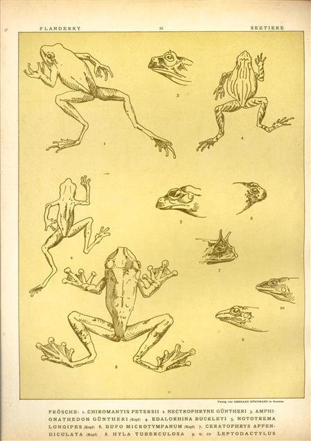 (DECORATIEVE PRENT,  LITHO - DECORATIVE PRINT, LITHOGRAPH -) # 26 - Frogs no 4 ----  Seetiere -- Naturstudien für K unst u. Kunstgewerbe