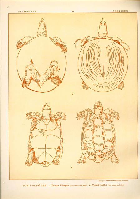 (DECORATIEVE PRENT,  LITHO - DECORATIVE PRINT, LITHOGRAPH -) # 81 - Turtle - Trionyx Triunguis - Testudo Leithii ---  Seetiere -- Naturstudien für Kunst u. Kunstgewerbe