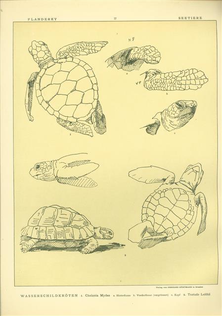 (DECORATIEVE PRENT,  LITHO - DECORATIVE PRINT, LITHOGRAPH -) # 77 - water turtle - Chelonia Mydas - Testudo Leithii ---  Seetiere -- Naturstudien für Kunst u. Kunstgewerbe