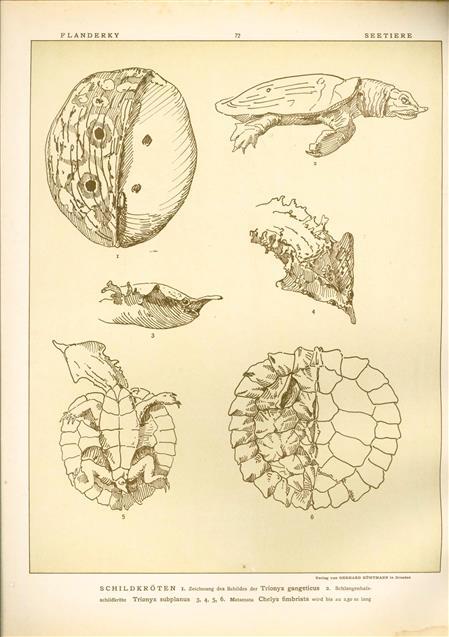 (DECORATIEVE PRENT,  LITHO - DECORATIVE PRINT, LITHOGRAPH -) # 72 - turtle - Trionyx Gangeticus - Trionyx Subplanus - Chelys Fimbriata ---  Seetiere -- Naturstudien für Kunst u. Kunstgewerbe