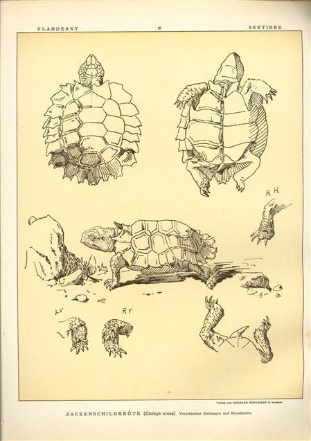 (DECORATIEVE PRENT,  LITHO - DECORATIVE PRINT, LITHOGRAPH -) # 67 -  turtle - pointed turtle - Cinixys Erosa ---  Seetiere -- Naturstudien für Kunst u. Kunstgewerbe