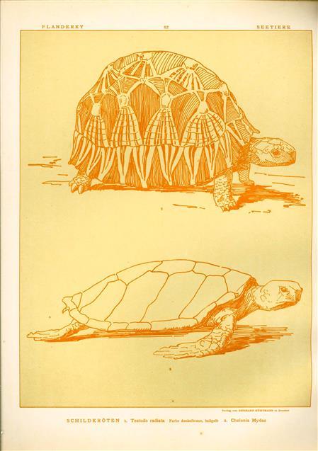 (DECORATIEVE PRENT,  LITHO - DECORATIVE PRINT, LITHOGRAPH -) # 62 -Land and see turtle -  Testudo Radiata - Chelonia Mydas ---  Seetiere -- Naturstudien für Kunst u. Kunstgewerbe