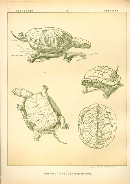 (DECORATIEVE PRENT,  LITHO - DECORATIVE PRINT, LITHOGRAPH -) # 15 - Pond turtle - Emys Orbicularis  ---  Seetiere -- Naturstudien für Kunst u. Kunstgewerbe