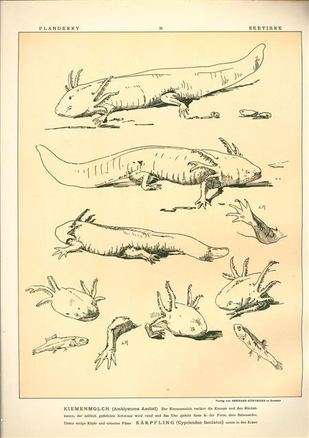 (DECORATIEVE PRENT,  LITHO - DECORATIVE PRINT, LITHOGRAPH -) # 76 - Gill newt - Amblystoma Axolotl ---  Seetiere -- Naturstudien für Kunst u. Kunstgewerbe