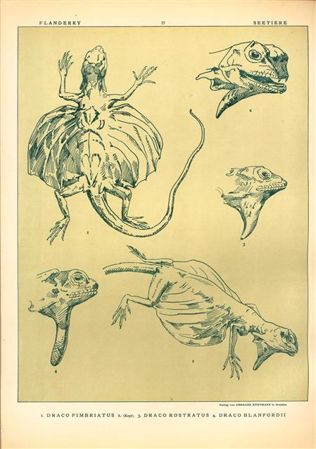 (DECORATIEVE PRENT,  LITHO - DECORATIVE PRINT, LITHOGRAPH -) # 27 - Lizard - Draco Fimbriatus - nDraco Rostratus - Draco Blanfordii  ---  Seetiere -- Naturstudien für Kunst u. Kunstgewerbe