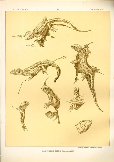 (DECORATIEVE PRENT,  LITHO - DECORATIVE PRINT, LITHOGRAPH -) # 61 - Lizard  - sand lizard  - Lacerta Agilis ---  Seetiere -- Naturstudien für Kunst u. Kunstgewerbe