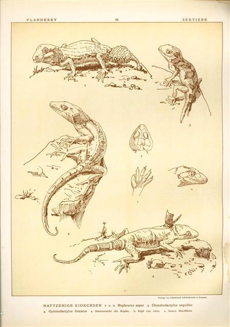 (DECORATIEVE PRENT,  LITHO - DECORATIVE PRINT, LITHOGRAPH -) # 66 - Lizard - Sticky-toed lizards - Nephurus Asper - Gymnodactylus Frenatus ---  Seetiere -- Naturstudien für Kunst u. Kunstgewerbe