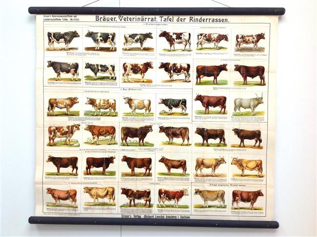 (SCHOOLPLAAT - SCHOOL POSTER / MAP - LEHRTAFEL) Grasers naturwissenschaftliche und landwirtschaftliche Tafeln 26, Tafel der Rinderrassen