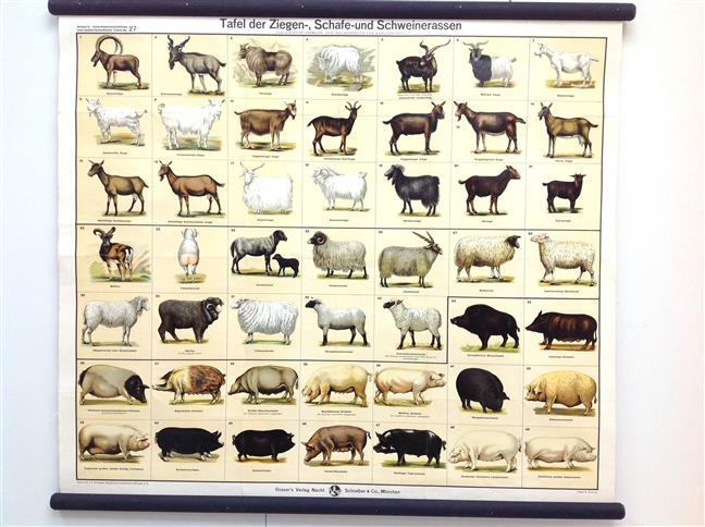 (SCHOOLPLAAT - SCHOOL POSTER / MAP - LEHRTAFEL) Grasers naturwissenschaftliche und landwirtschaftliche Tafeln 27, Tafel der Ziegen-, Schafen- und Schweinerassen