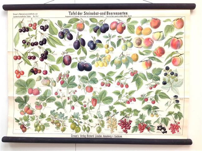 (SCHOOLPLAAT - SCHOOL POSTER / MAP - LEHRTAFEL)Grasers naturwissenschaftliche und landwirtschaftliche Tafeln  XIV ( 14 )   Tafel der Steinobst- und Beerensorten