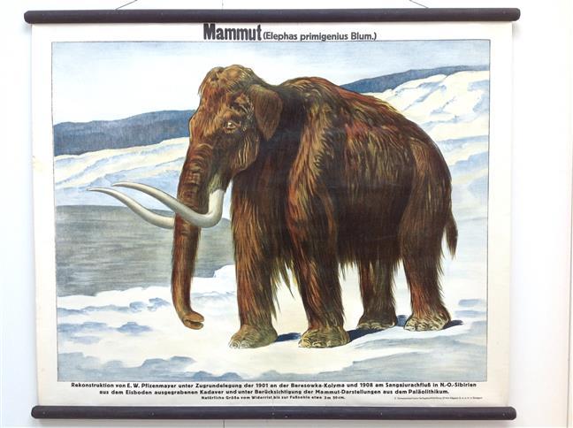 (SCHOOLPLAAT - SCHOOL POSTER / MAP - LEHRTAFEL) Mammut ( elephas primigenius blum  )