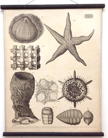 (SCHOOLPLAAT - SCHOOL POSTER / MAP - LEHRTAFEL) Kalkskelett des Seeigels und Seesternes. Hornskelett des Schwammes -  Limestone skeleton of the sea urchin and starfish. Horn skeleton of the sponge ( Tbl 6 )