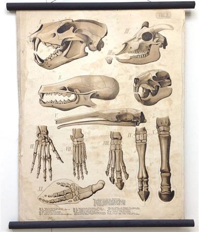 (SCHOOLPLAAT - SCHOOL POSTER / MAP - LEHRTAFEL) Vergleichende Zusammenstellung von Schädeln und Gebissen; desgleichen von (Hand-)Fussskeletten - Comparative compilation of skulls and teeth; likewise of (hand) foot skeletons ( Tbl 2 )