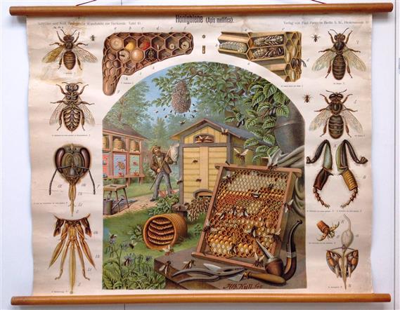 (SCHOOLPLAAT - SCHOOL POSTER / MAP - LEHRTAFEL) Honingbiene (Apis mellifica) - Honingbij -- Honey bee (Apis mellifica) --- Abeille à miel (Apis mellifica)
