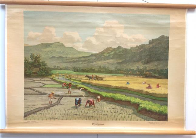 (SCHOOLPLAAT - SCHOOL POSTER - LEHRTAFEL) Rijstbouw. Java ( op dik papier met stokken ) - Lithografie